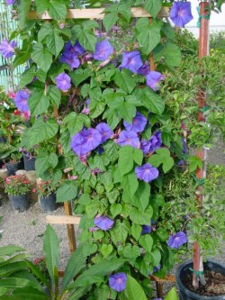 Morning Glory- fast growing & loves heat.