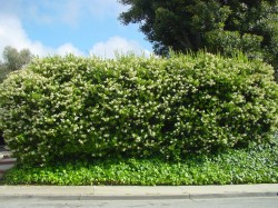 Privet hedge makes a good privacy green wall.